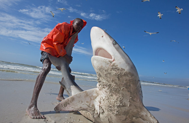 Fisherman trying to pull a bronze whaler shark back into the sea