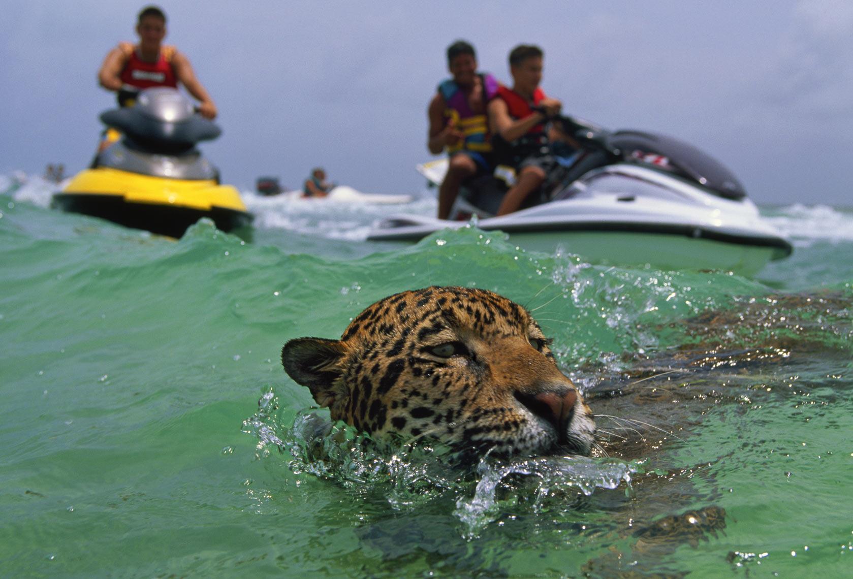 Jaguar in the ocean