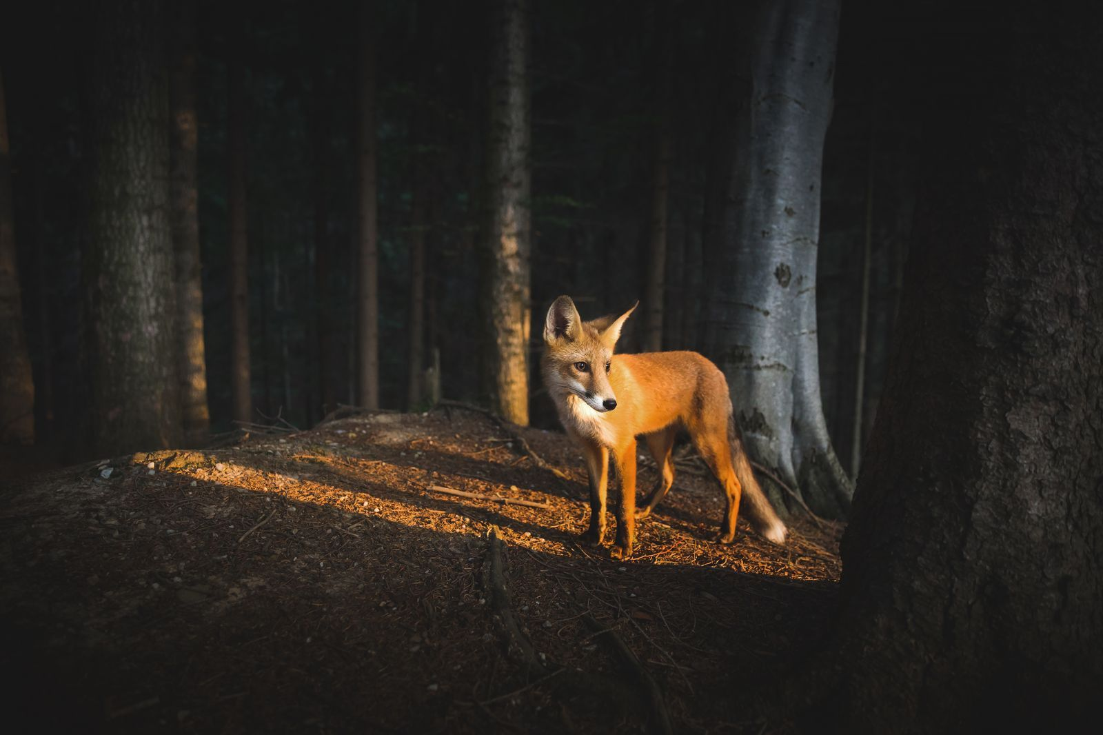 This fox in the woods.