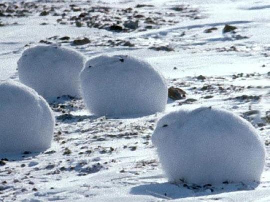 cool-Arctic-bunnies-snow