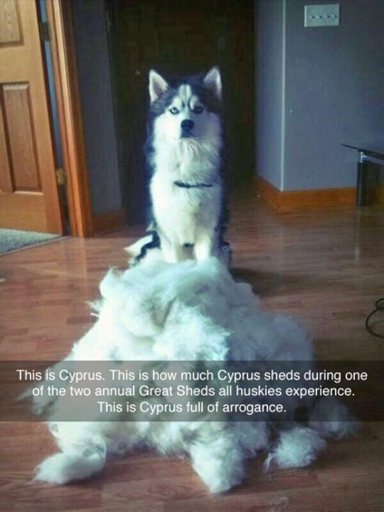 cool-Husky-shed-fur-dog