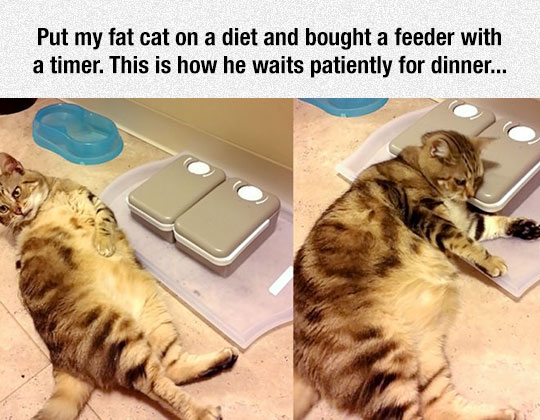 cool-cat-waiting-timer-food-feeder