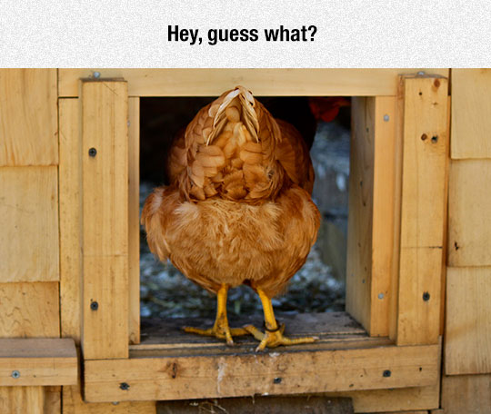 cool-chicken-entering-hen-house