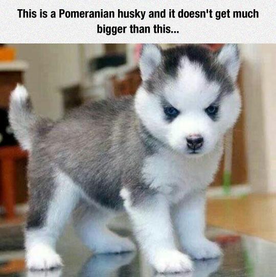 Awesome Pomeranian Husky Mix