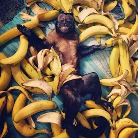 cool-monkey-laying-bananas-happy