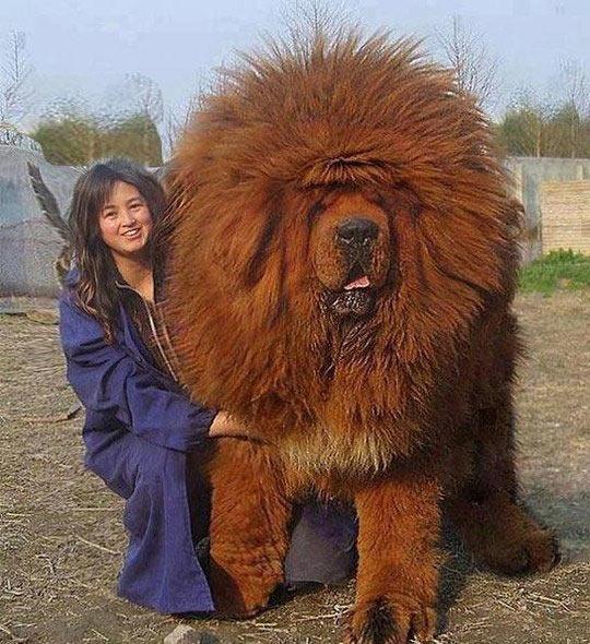 girl-big-dog-Tibetan-mastiff