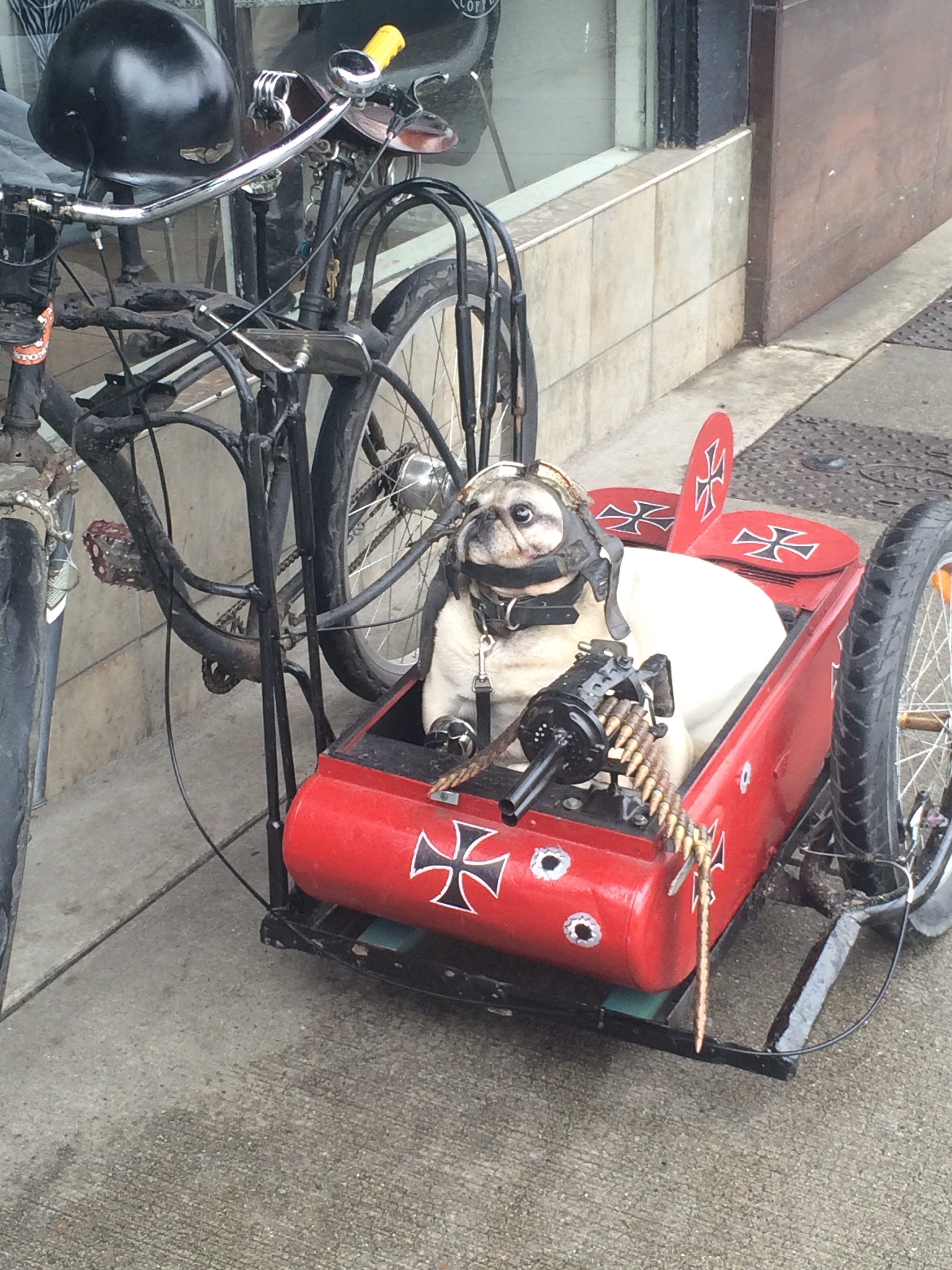 A guy in my city often rides around with his pug like this