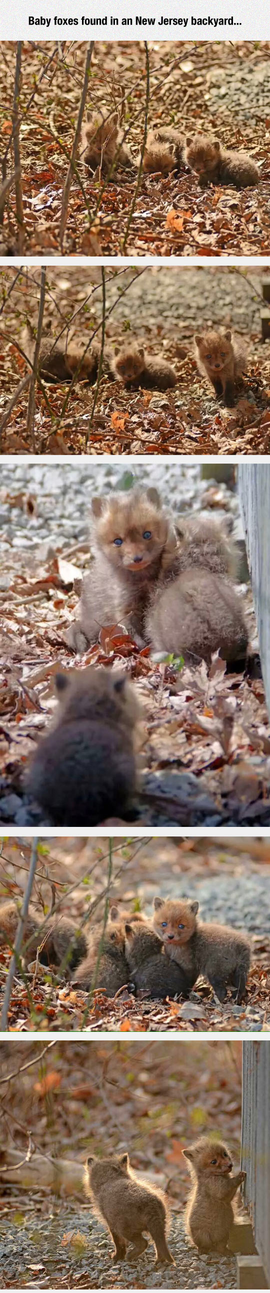 Baby Foxes With Incredible Blue Eyes