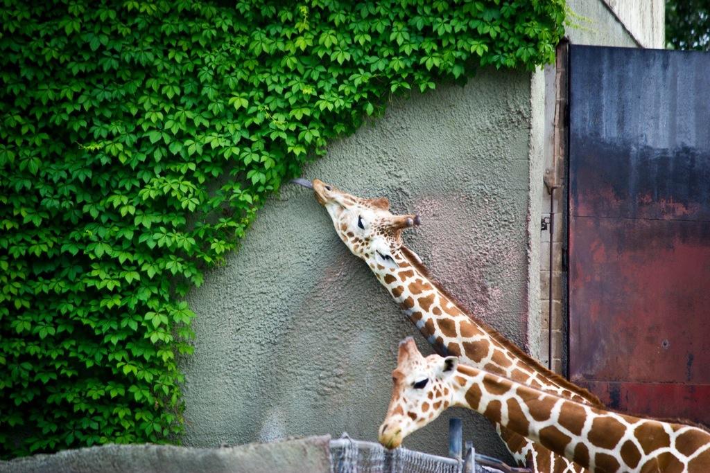 Giraffe ate everything within reach