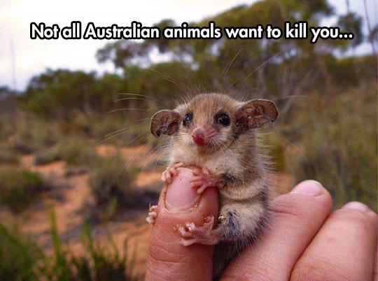 A Cute Western Pygmy Possum