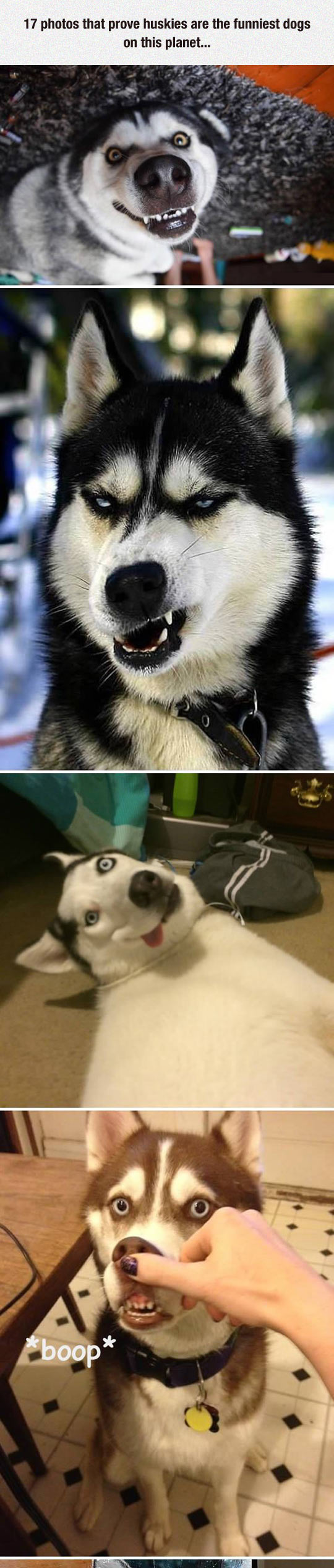 Huskies Are Such Ridiculous Dogs