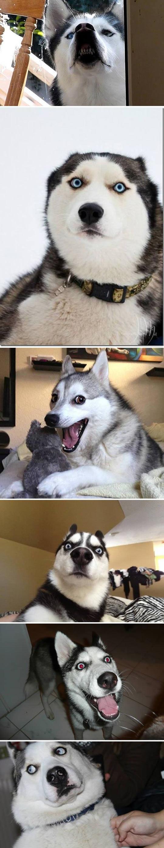 funny-husky-dog-Siberian-faces-smile