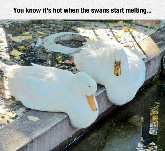 The Climate Change Is Affecting The Swans