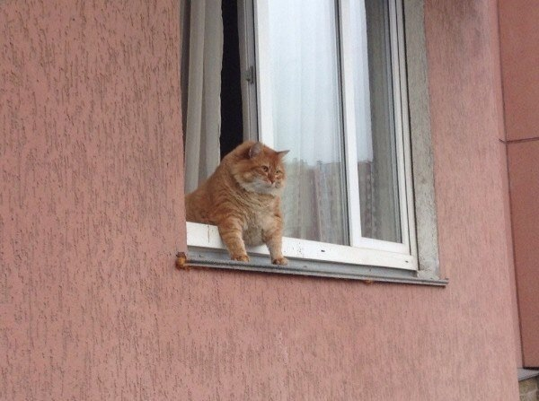 Chubby cat leaning out of window