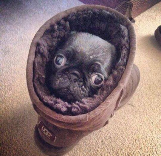 Snug Pugg In An UGG