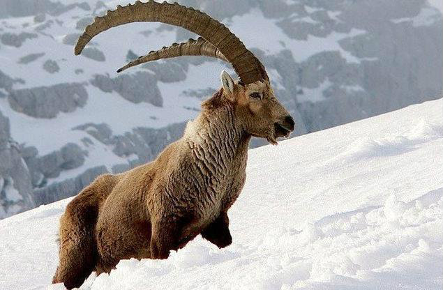 The markhor straight out of a fantasy book