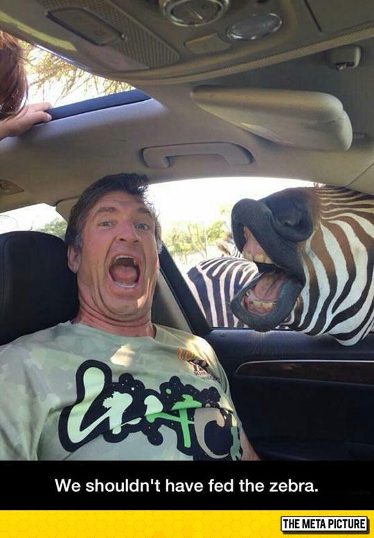 funny-man-zebra-car-mouth