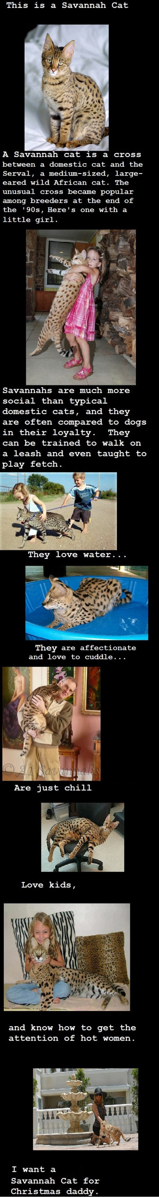 A Savannah Cat Right Now