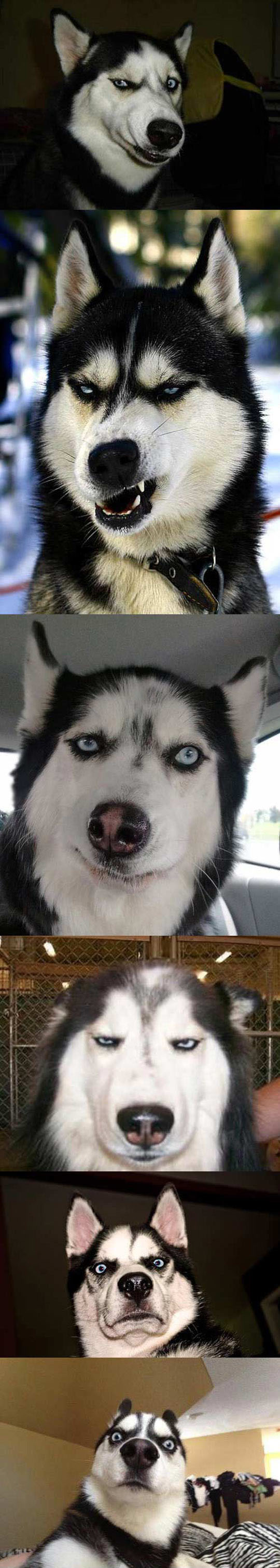 Huskies Usually Make The Best Faces