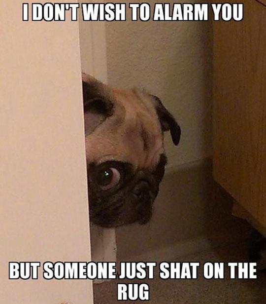 Peeking Pug Has Some Bad News
