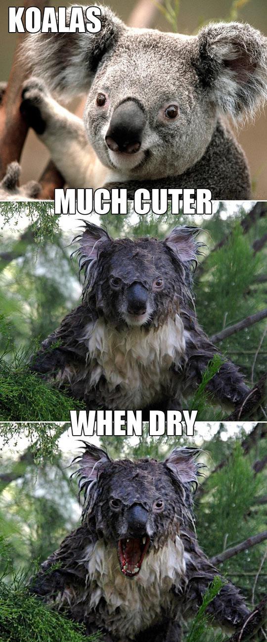 Water Can Dramatically Change A Koala