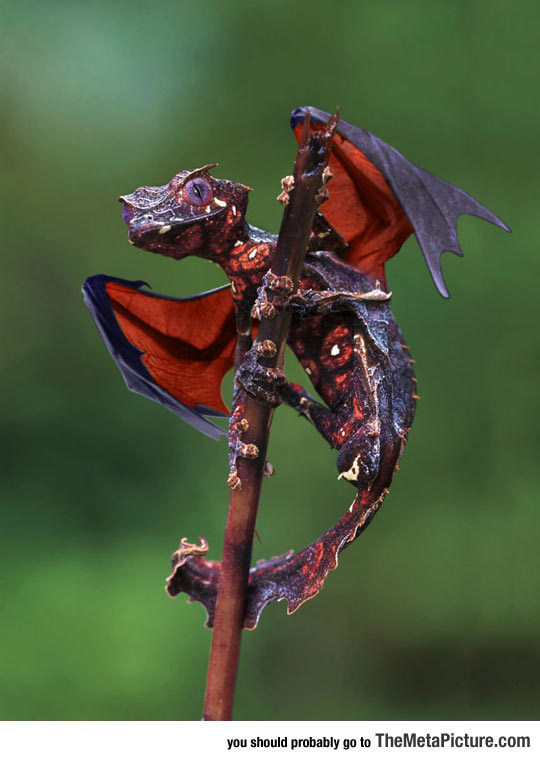 Real Life Dragon: The Satanic Leaf Tailed Gecko With Flying Fox Wings