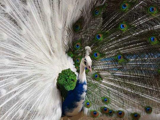 Ever Seen A Half-Albino Peacock