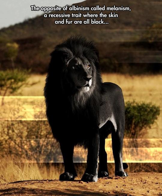 funny-lion-melanism-black-skin