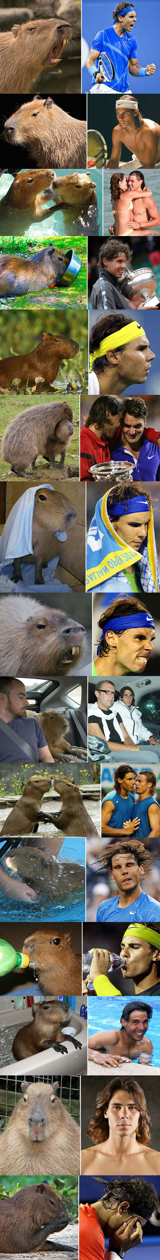 Capybaras That Really Look Like Rafael Nadal
