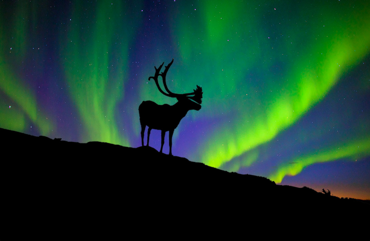 A Caribou with an Aurora behind it