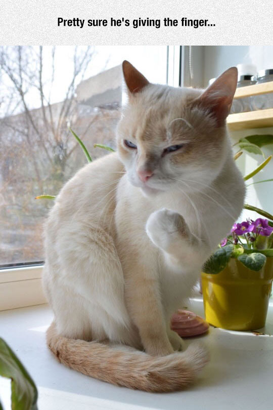 funny-Italian-cat-hand-gesture