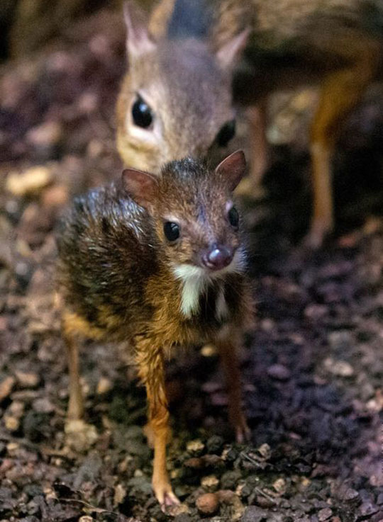 A One Day Old Mouse Deer