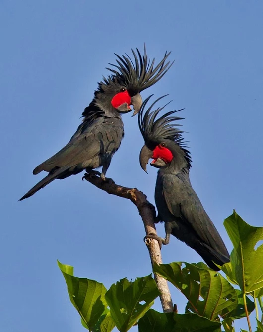 Palm Cockatoos are monogamous and stay together for life.