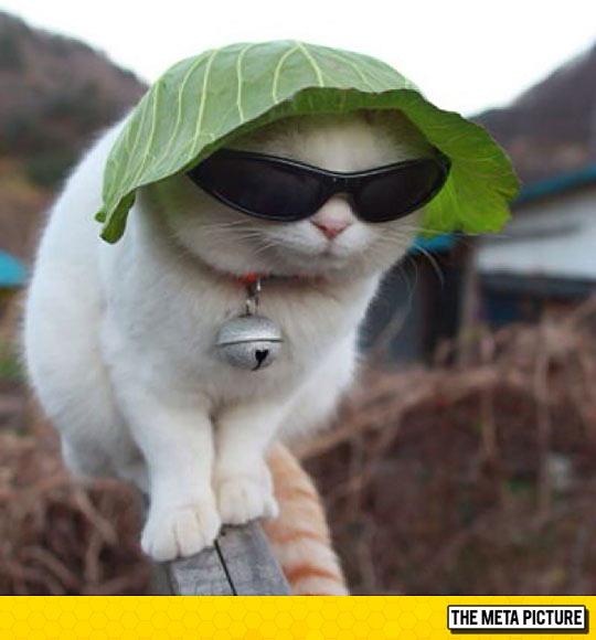 funny-cat-sunglasses-lettuce-hat-cool