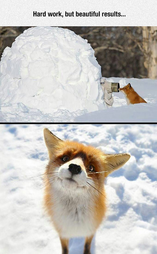 funny-hidden-photographer-snow-fox