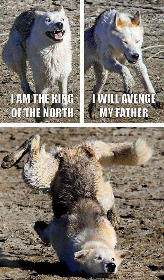 funny-wolf-running-falling-fail