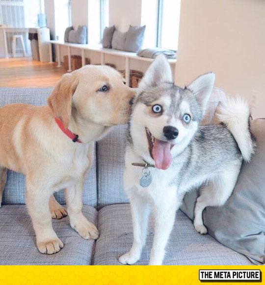 cute-husky-puppy-blue-eyes-kiss