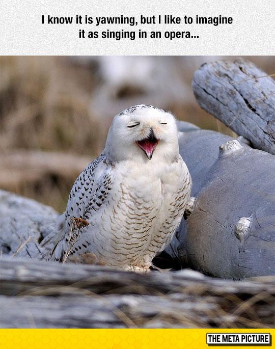 funny-owl-singing-face-yawning