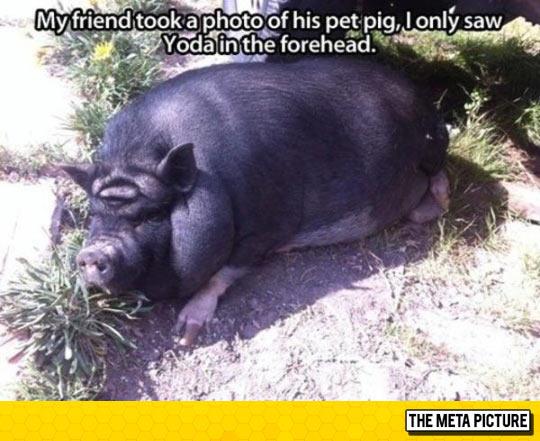 funny-pig-friend-Yoda-forehead