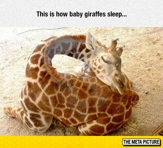cute-baby-giraffe-sleeping-neck