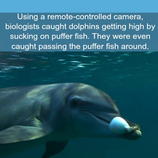 funny-dolphin-fact-puffer-fish