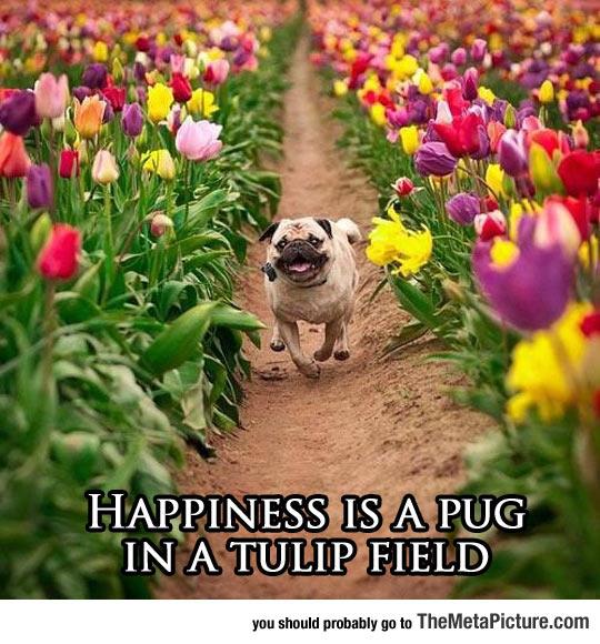 cool-cute-pug-run-tulip-field
