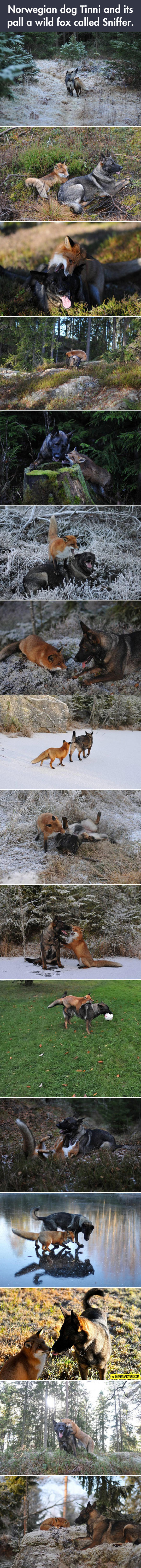 cute-dog-fox-best-friends