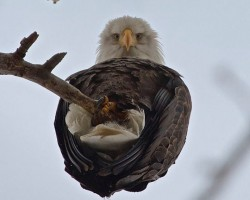 When An Eagle Catches You Staring