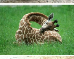 So This Is How Giraffes Sleep