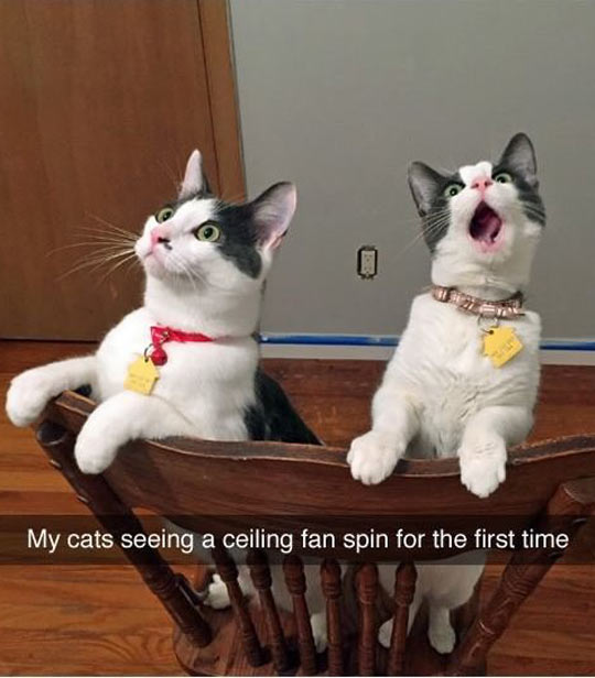 funny-cats-ceiling-fan-watching