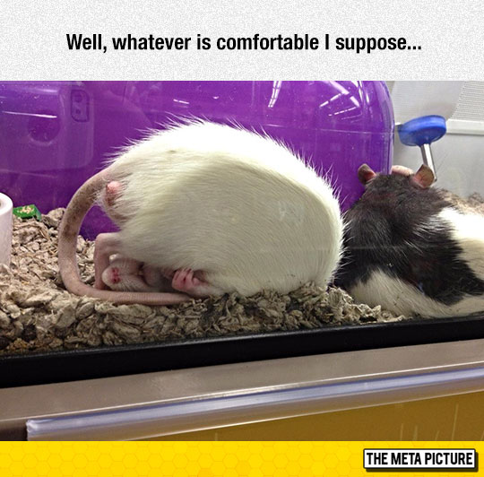 cute-rat-sleeping-comfortable