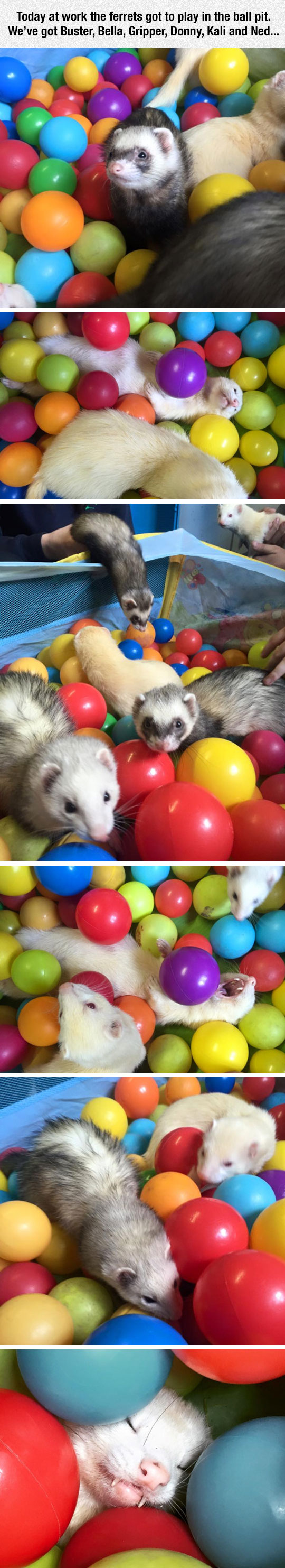 cute-ferret-ball-pit-playing