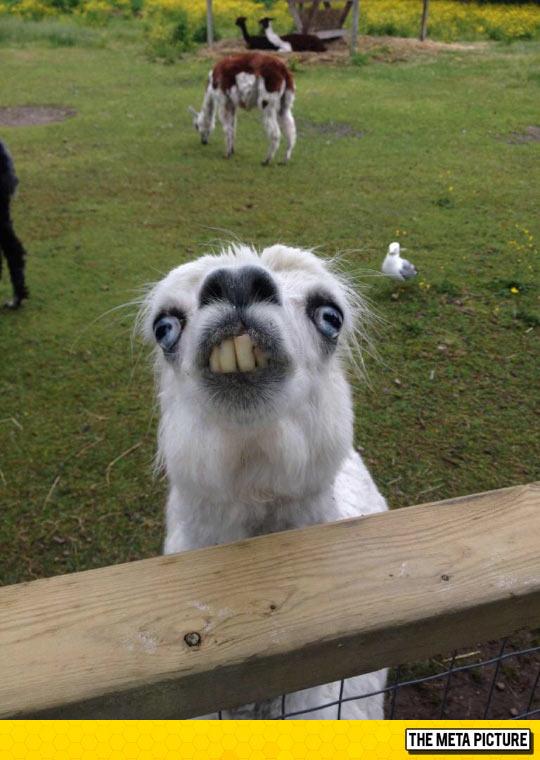 This Llama At The Petting Zoo