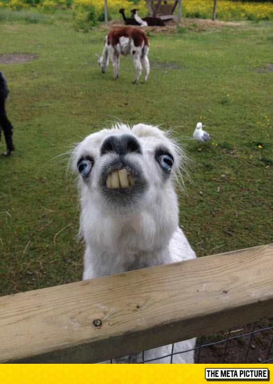 funny-Llama-face-teeth-zoo-ugly